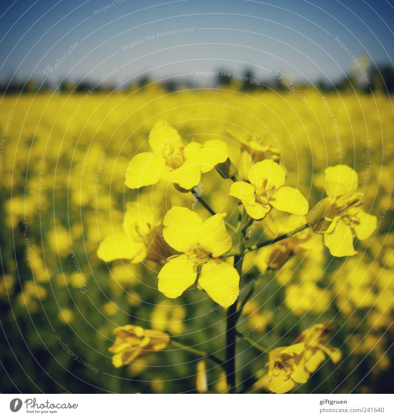 mellow yellow Umwelt Natur Landschaft Pflanze Himmel Wolkenloser Himmel Frühling Sommer Schönes Wetter Blume Nutzpflanze Feld Blühend Wachstum schön Raps