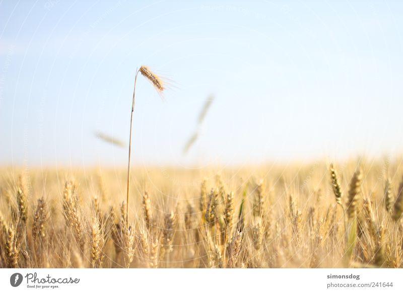 ausreißer Getreide Bioprodukte Landschaft Himmel Wolkenloser Himmel Sommer Schönes Wetter Nutzpflanze Feld berühren dehydrieren Wachstum blond trocken