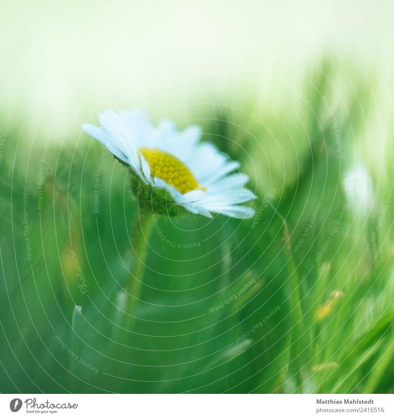 Daisy Umwelt Natur Pflanze Sommer Blume Blüte Gänseblümchen einfach natürlich schön gelb grün weiß Duft Erholung Farbe Gesundheit nachhaltig Wachstum Farbfoto