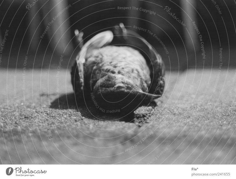 Tod im Stadtpark Umwelt Natur Tier Wildtier Totes Tier Vogel Amsel 1 dunkel grau schwarz Einsamkeit Vergänglichkeit Schwarzweißfoto Außenaufnahme Nahaufnahme