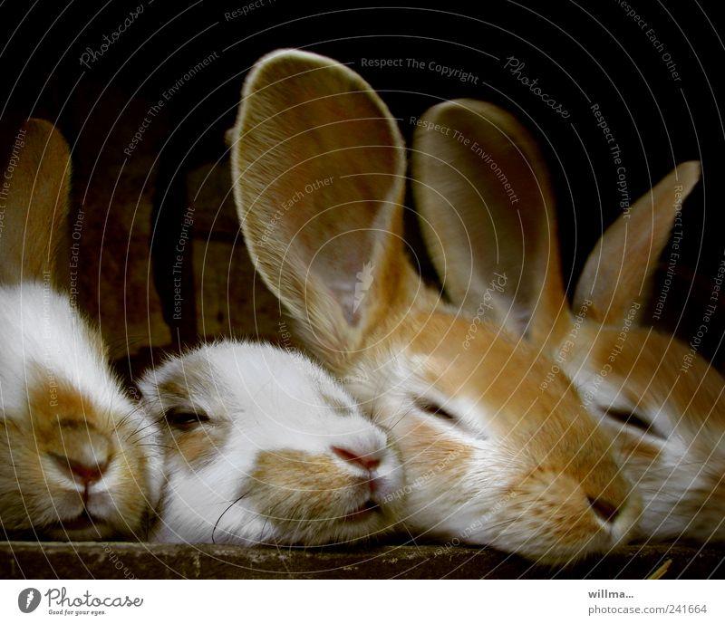 keinohrhase Erholung Tier Tierjunges Tiergruppe niedlich Zusammenhalt Ohr Fell Haustier Hase & Kaninchen Nutztier ruhen Osterhase Tierhaltung mehrere