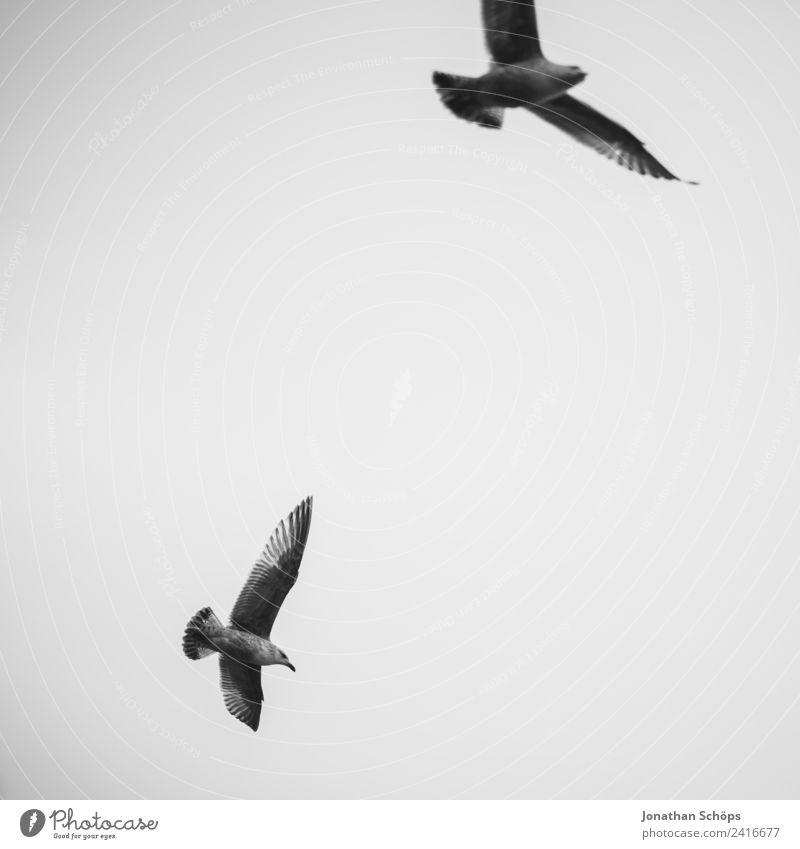 Zwei Möwen am Himmel Umwelt Tier Urelemente Luft Wolken Klima Vogel Tiergruppe Schwarm Möwenvögel Vogelschwarm kreisen fliegen Meer Küste Hintergrundbild