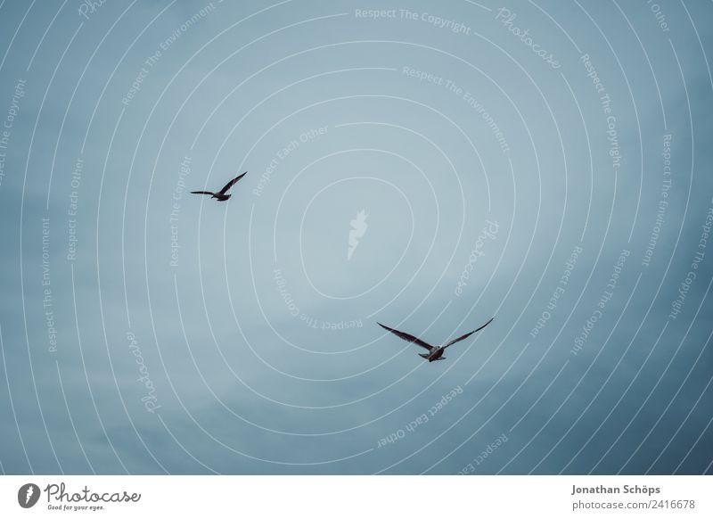 Zwei Möwen am Himmel Umwelt Tier Urelemente Luft Wolken Klima Vogel Tiergruppe Schwarm blau Möwenvögel Vogelschwarm kreisen fliegen Meer Küste Hintergrundbild