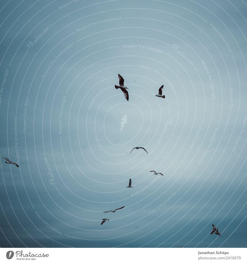 Möwen am Himmel blau Meer Wolken Tier dunkel Hintergrundbild Umwelt kalt Küste Vogel fliegen Luft Tiergruppe Klima Urelemente