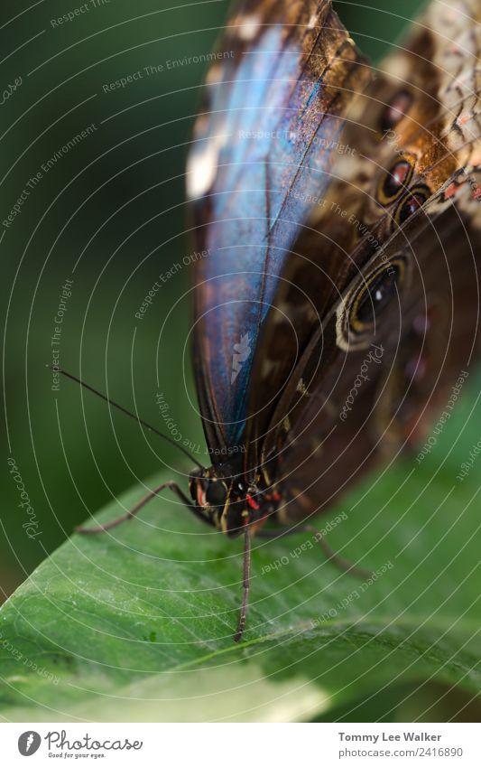 Blaue morpho Schmetterlingssitze auf grünem Blatt Extrem-Makroporträt Glück schön Freiheit Sommer Garten Valentinstag Kindheit E-Mail Blume Flügel füttern Liebe