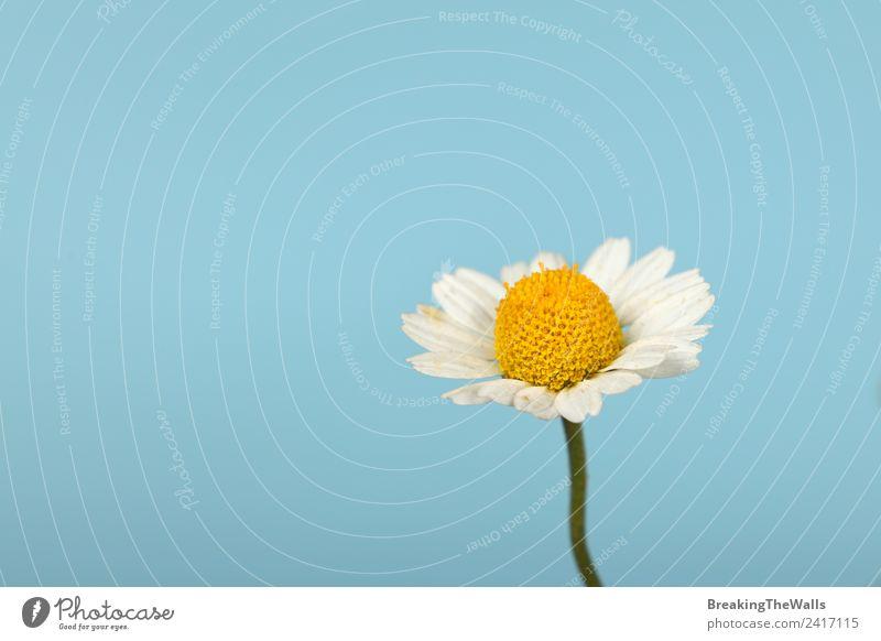 Himmel Natur blau Pflanze schön weiß gelb Frühling Blüte klein frisch Jahreszeiten Wolkenloser Himmel Pollen Korbblütengewächs zerbrechlich