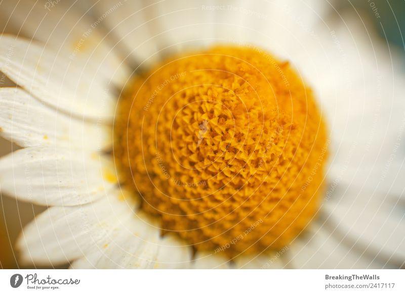 Makro Nahaufnahme Kamillenblütenbänder und Blütenblätter Natur Frühling Sommer Pflanze Wildpflanze Wiese gelb weiß Echte Kamille Korbblütengewächs formatfüllend