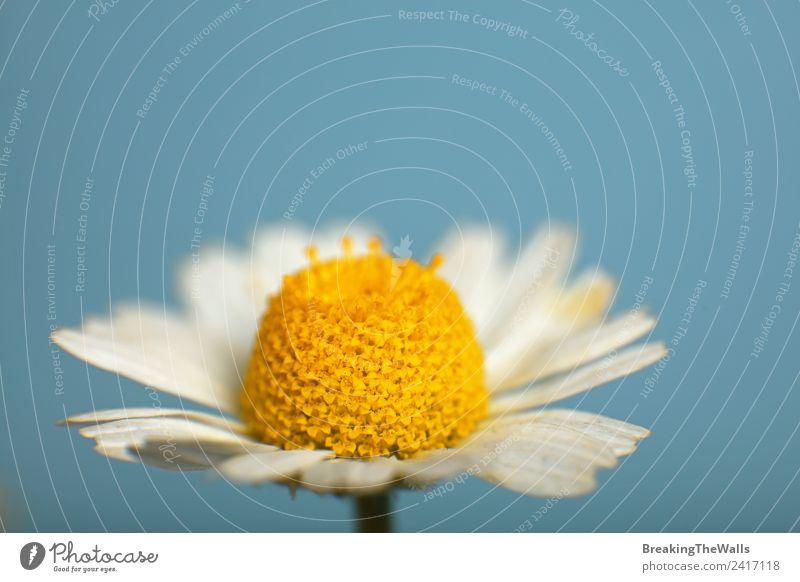 Nahaufnahme einer Kamillenblüte über blauem Himmel Natur Wolkenloser Himmel Frühling Sommer Pflanze Blume Blüte Wildpflanze schön mehrfarbig gelb weiß