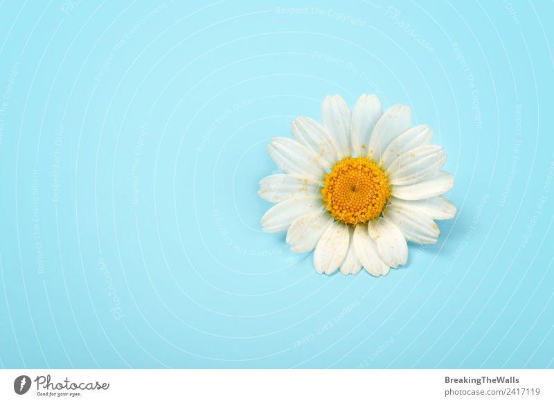 Natur Sommer blau Pflanze weiß Blume gelb Frühling Liebe frisch Sauberkeit Blütenknospen Blütenblatt minimalistisch Valentinstag Korbblütengewächs
