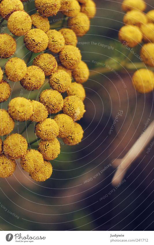 Gemeinsam gelb Natur Pflanze Sommer Blume gelb Wiese Umwelt Blüte Feld wild rund Kugel Zusammenhalt Fleck gleich Mensch