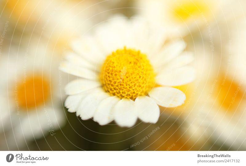 Natur Sommer Pflanze Farbe schön weiß gelb Frühling Blüte hell frisch Jahreszeiten Blütenknospen Blütenblatt Pollen Korbblütengewächs