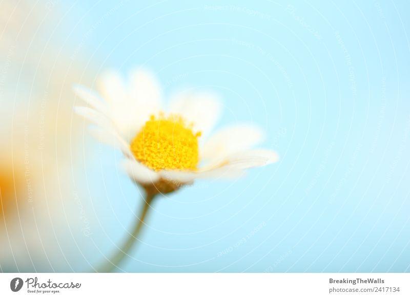 Nahaufnahme einer Kamillenblüte über blauem Himmel Natur Pflanze Wolkenloser Himmel Frühling Blüte Wildpflanze hell schön gelb weiß Echte Kamille