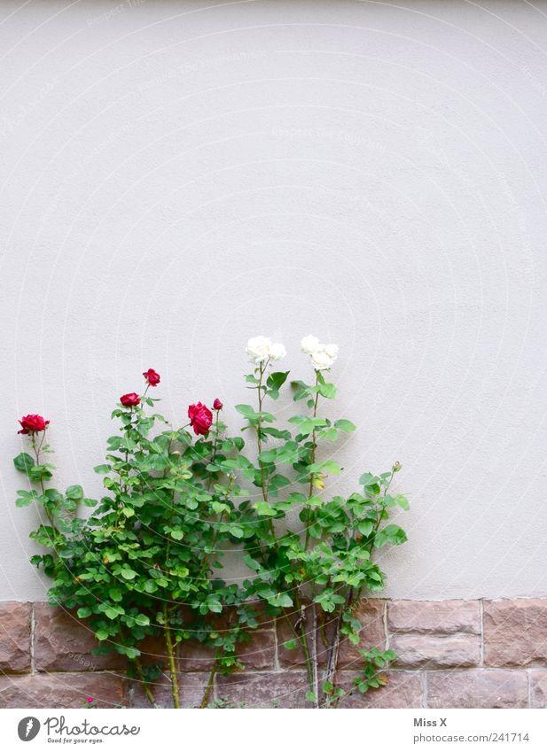 Schneeweißchen und Rosenrot Sommer Pflanze Sträucher Blatt Blüte Haus Mauer Wand Garten Blühend Duft Wachstum Märchen Rosenstock Farbfoto Außenaufnahme