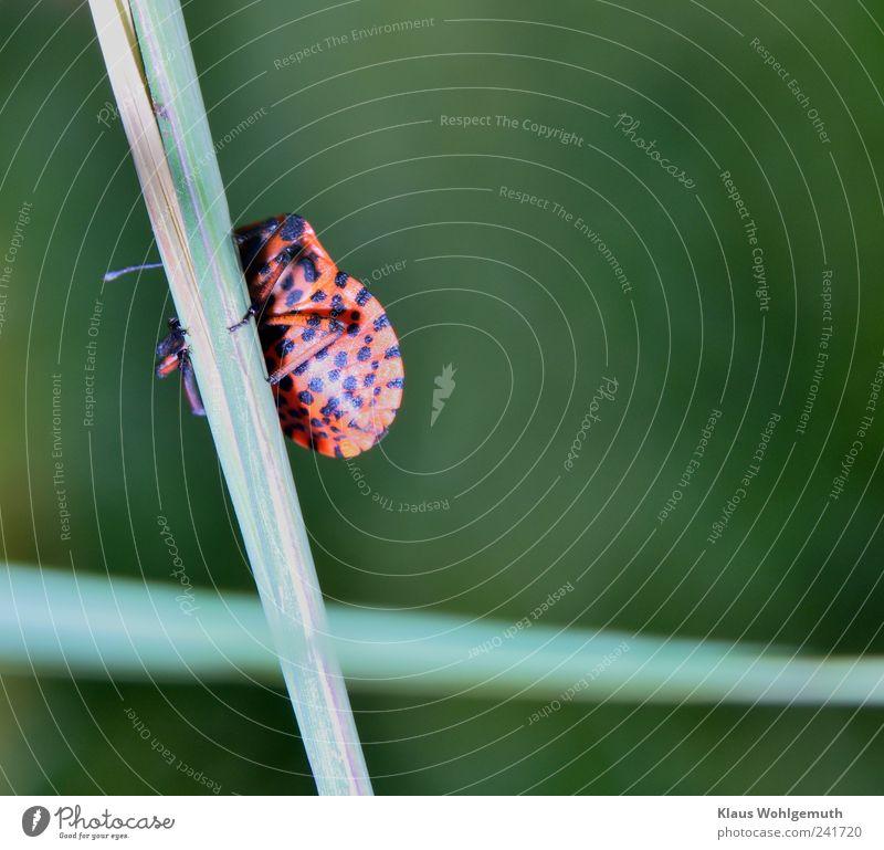 Versteckspiel Umwelt Natur Tier Pflanze Gras Wiese Käfer 1 Schutzschild exotisch grün rot schwarz Feuerwanze Baumwanze Streifen verstecken Insekt Imago