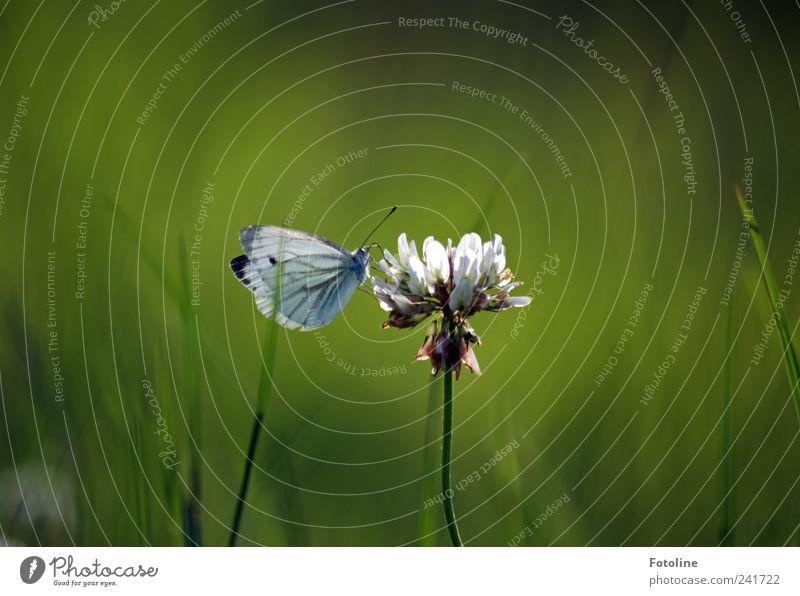 Schmetterling küßt Klee Umwelt Natur Pflanze Tier Sommer Blume Gras Blüte Wildpflanze Garten Park Wildtier Flügel hell natürlich Kohlweißling Kleeblüte grün