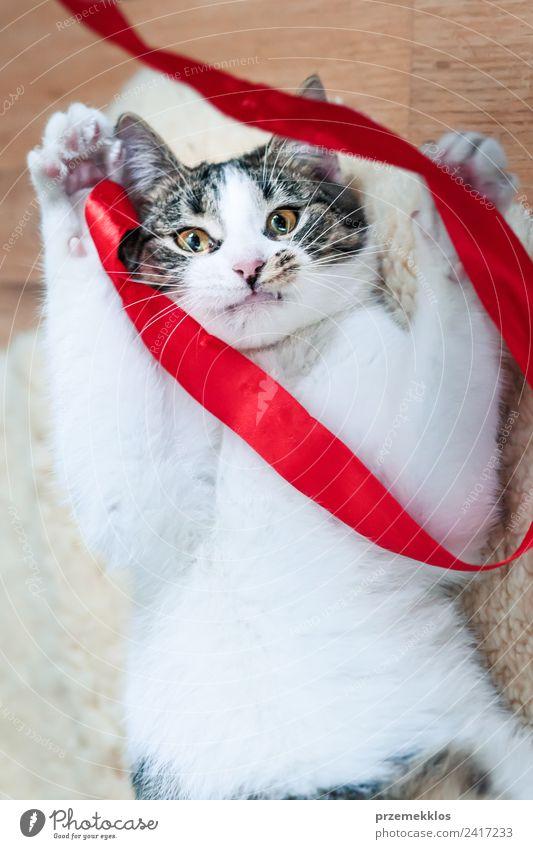 Katze spielt ein rotes Band auf dem Boden. Ansicht von oben Tier Haustier 1 Schnur authentisch klein lustig niedlich weiß reizvoll Katzen heimisch katzenartig