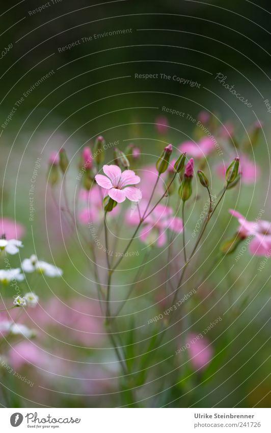 Blumenwiese Natur schön weiß grün Pflanze Sommer Blüte Garten rosa Umwelt ästhetisch Wachstum stehen weich wild