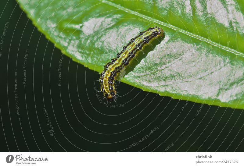Zünsler Raupe auf Blattrand Natur Pflanze Tier 1 Ekel klein grün zünsler Buchsbaum Schädlinge Fressen Plage Lebensmittel Insekt Schmetterling bux buxbaum