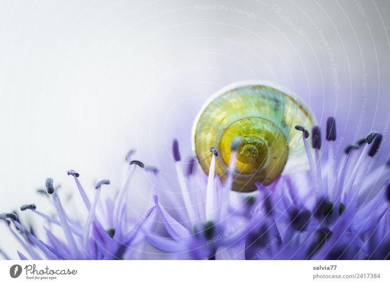 transparent Umwelt Natur Frühling Sommer Pflanze Blume Blüte Zierlauch Tier Schnecke Schneckenhaus Blühend Duft rund blau gelb ästhetisch Kunst Schutz