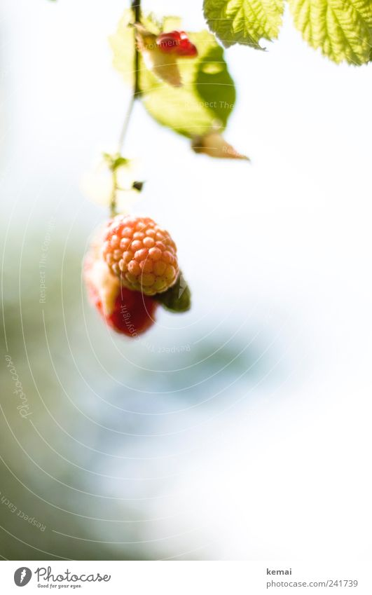 Heranreifen Lebensmittel Frucht Himbeeren Ernährung Bioprodukte Vegetarische Ernährung Slowfood hängen Wachstum frisch lecker unreif Farbfoto Gedeckte Farben