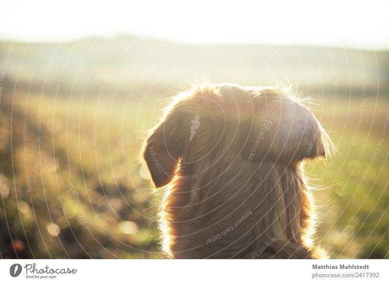 Into the wild Natur Landschaft Horizont Sonnenlicht Feld Tier Haustier Hund Fell 1 beobachten entdecken Blick Glück Unendlichkeit natürlich weich braun gelb