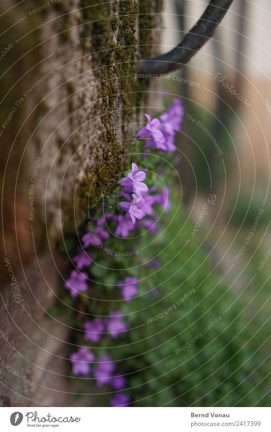 Mauerblümchen Blume Wand schön verstecken mauerblümchen Mauerpflanze Moos Wachstum Überleben Blüte klein violett zart grau grün Frühling Randerscheinung Wegrand