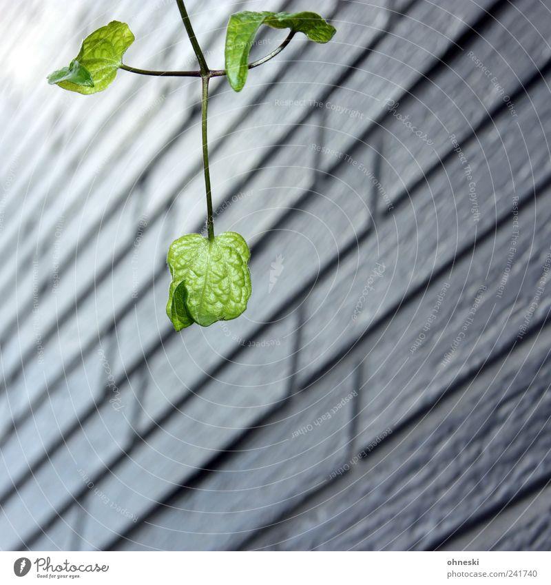 Hoffnungsschimmer Natur grün Pflanze Blatt Leben Wand Mauer Fassade Hoffnung Wachstum Sehnsucht Zweig