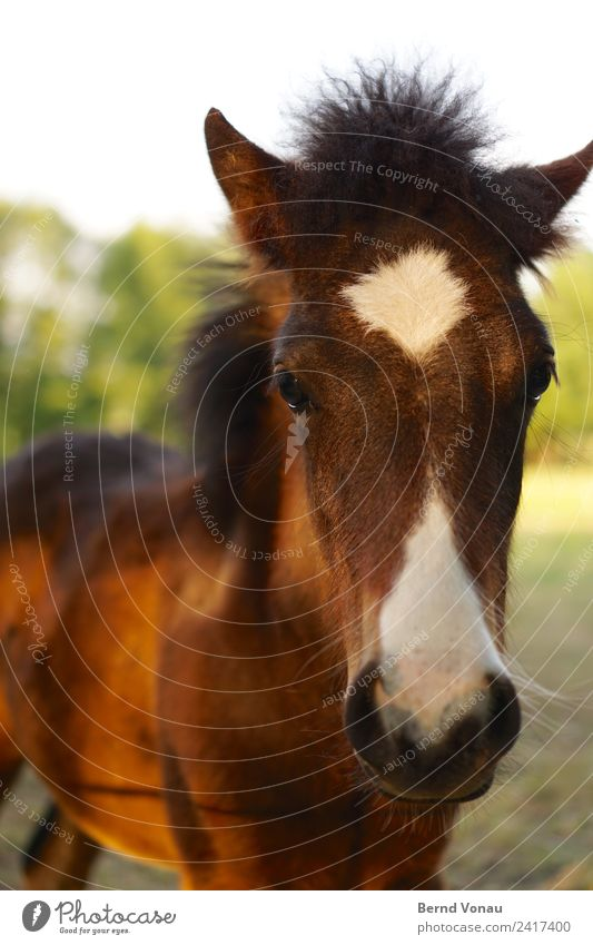 langes gesicht, kleines pferd Natur Feld Tier Pferd Tiergesicht 1 Tierjunges schön braun grün niedlich Wachsamkeit Neugier unschuldig Fell Fellfarbe Muster Ohr