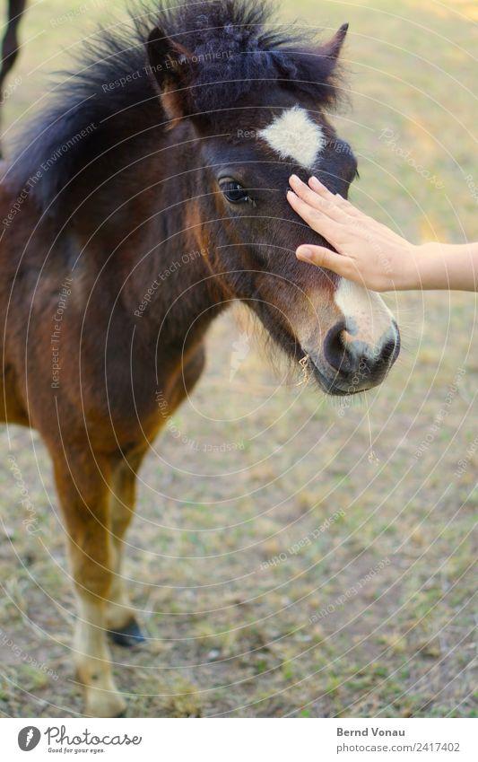 KONTIKI Tier Pferd 1 Tierjunges kuschlig Streicheln Haare & Frisuren Ponys klein niedlich sanft Nase Hand Vorsicht Kommunizieren annäherung nah braun Fell