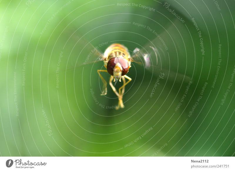 Bee cool... Natur grün Sommer Tier gelb Bewegung Luft Angst Fliege fliegen Tiergesicht Flügel Insekt beobachten Biene Schweben