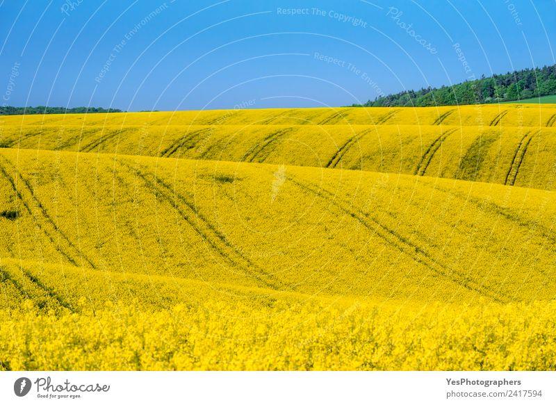 Felder mit Rapskultur in Südmähren schön Sommer Natur Landschaft Schönes Wetter Blume Wiese Hügel Unendlichkeit natürlich gelb Idylle Tschechien