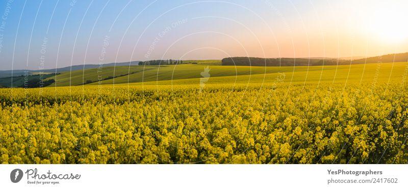 Panorama der Rapsfelder bei Sonnenuntergang schön Sommer Natur Landschaft Blume Wiese Hügel natürlich gelb Ferien & Urlaub & Reisen Freiheit Frieden Horizont