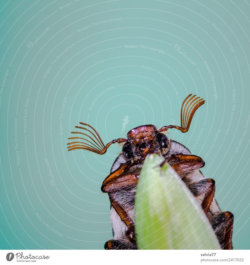 Maikäfer flieg Umwelt Natur Frühling Blatt Tier Tiergesicht Insekt Käfer 1 krabbeln türkis Frühlingsgefühle oben Fühler Antenne Farbfoto Außenaufnahme