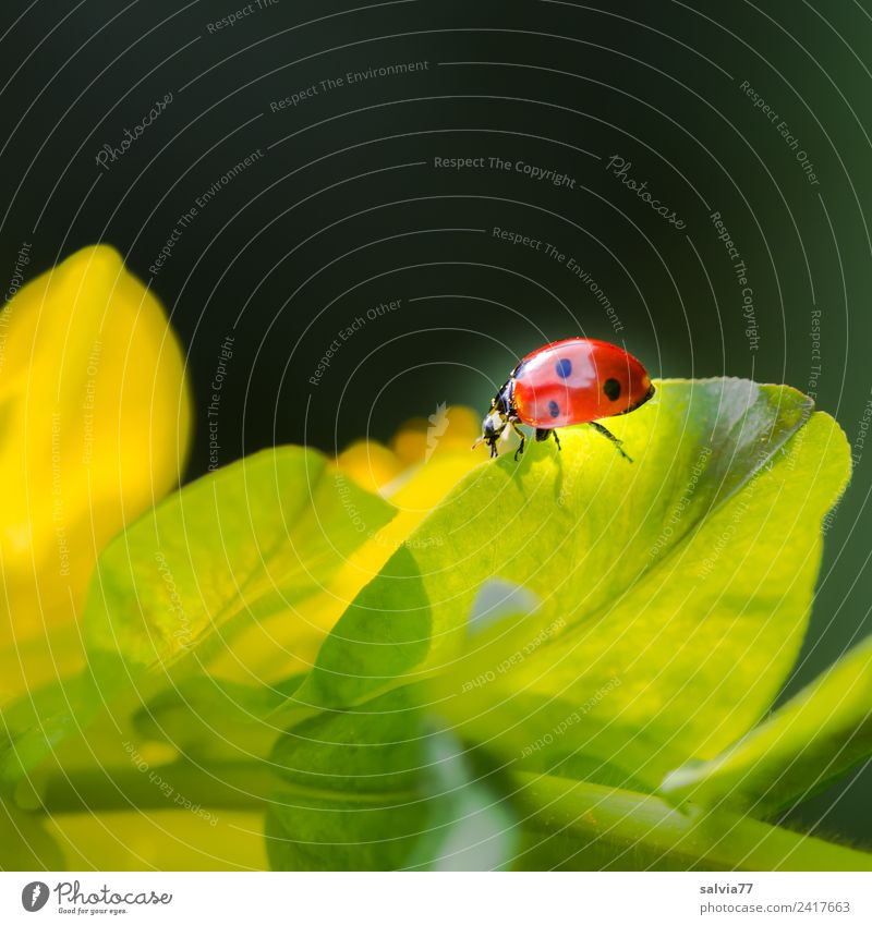 leuchtend Natur Frühling Pflanze Blatt Wildpflanze Wolfsmilchgewächse Tier Käfer Insekt Marienkäfer Siebenpunkt-Marienkäfer krabbeln gelb orange schwarz