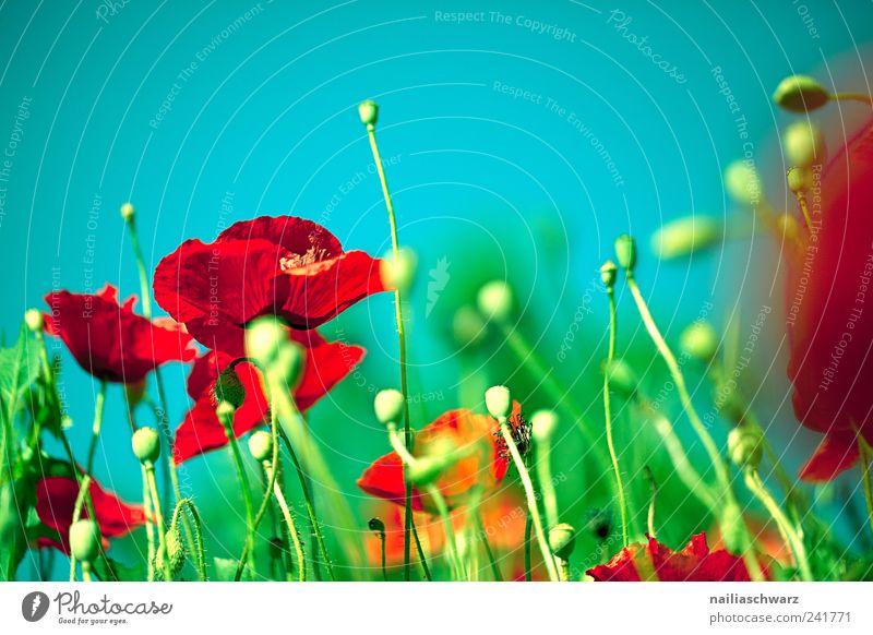 Mohntraum Natur schön Blume grün blau Pflanze rot Sommer ruhig Wiese Blüte Glück Landschaft Feld Umwelt Fröhlichkeit