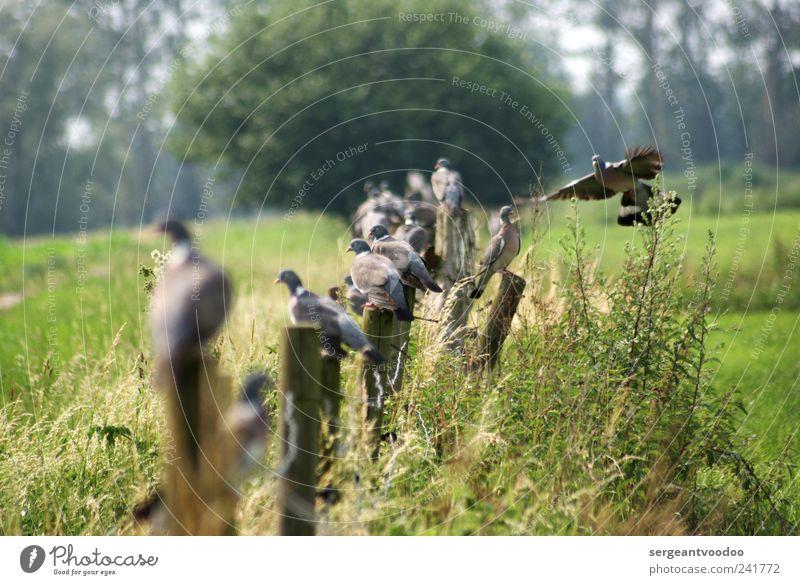 Zaungäste Umwelt Natur Landschaft Pflanze Tier Schönes Wetter Gras Sträucher Feld Wildtier Vogel Taube Tiergruppe Zaunpfahl Holz Brunft Erholung fliegen hocken