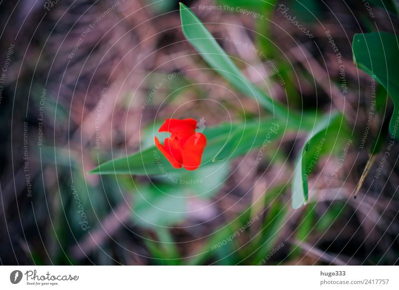 Red Tulip Pflanze schön grün rot Blatt Frühling Blüte Garten braun Park Erde einzigartig einzeln Tulpe Frühlingsblume Blütenkelch