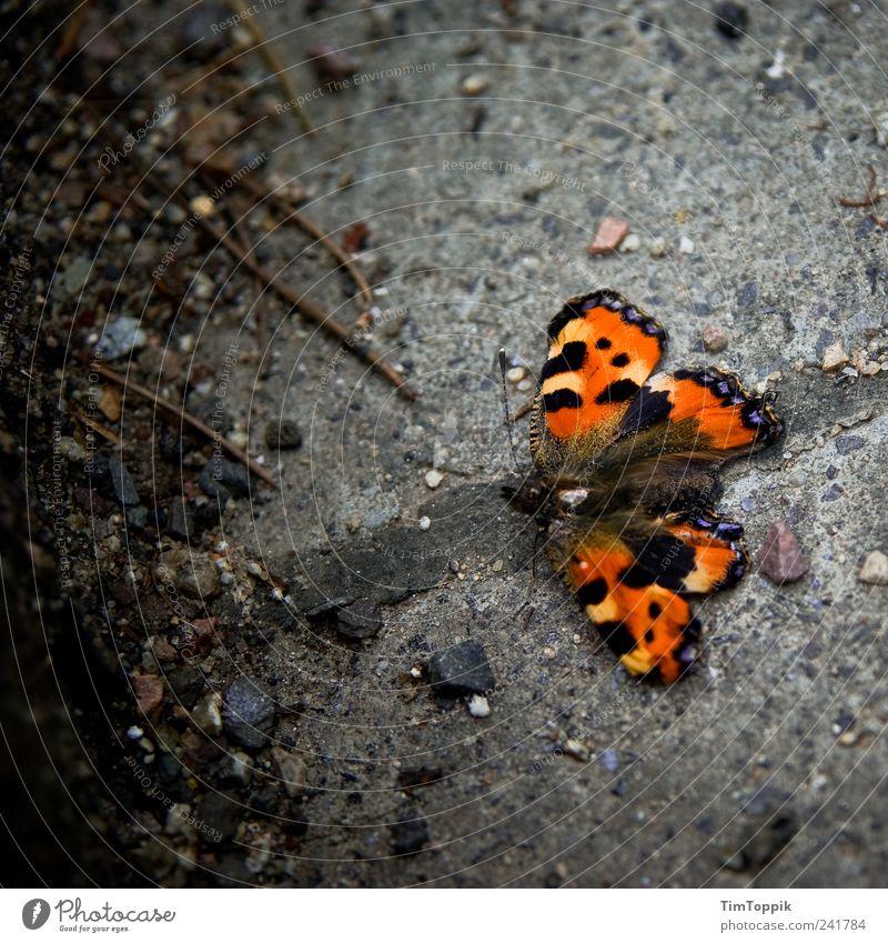 Alter Falter Tier schön Schmetterling Pflastersteine Fühler Flügel orange Kleiner Fuchs Vogelperspektive Tierporträt