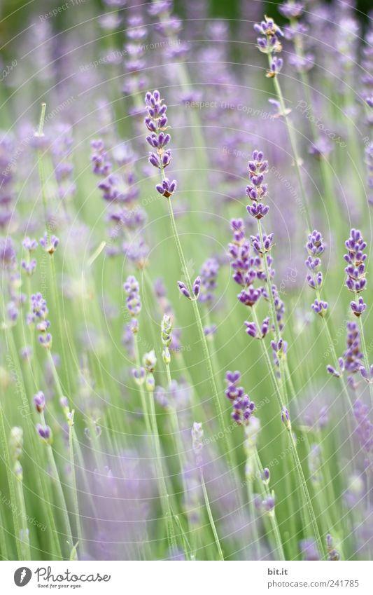 Lavendel... Natur Ferien & Urlaub & Reisen grün Pflanze Sommer Erholung Blume ruhig Wiese Frühling Blüte Tourismus Geburtstag Blühend violett Körperpflege
