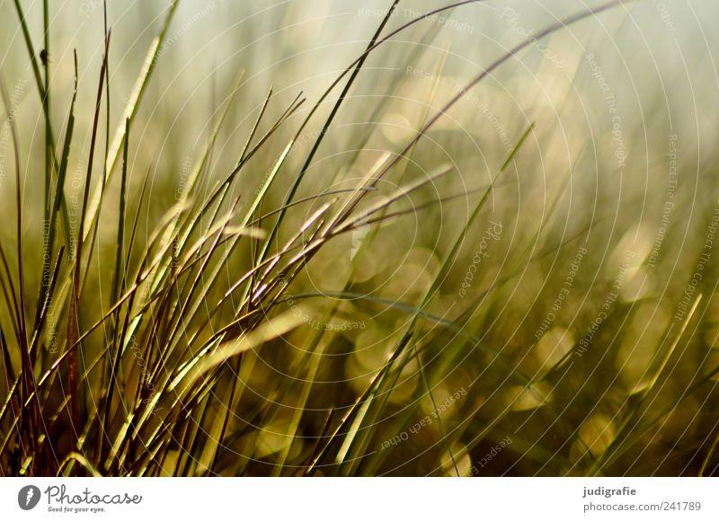 Gras Natur Pflanze Sommer Umwelt Wachstum wild natürlich Stranddüne