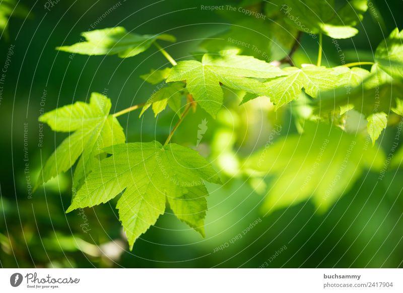 Berg Ahorn Natur Tier Frühling Baum Blatt grün Ahorne Baumart Bergahorn Eurosiden II Hippocastanoideae Jahreszeiten Rosskastaniengewächse Sapindaceae Sapindales