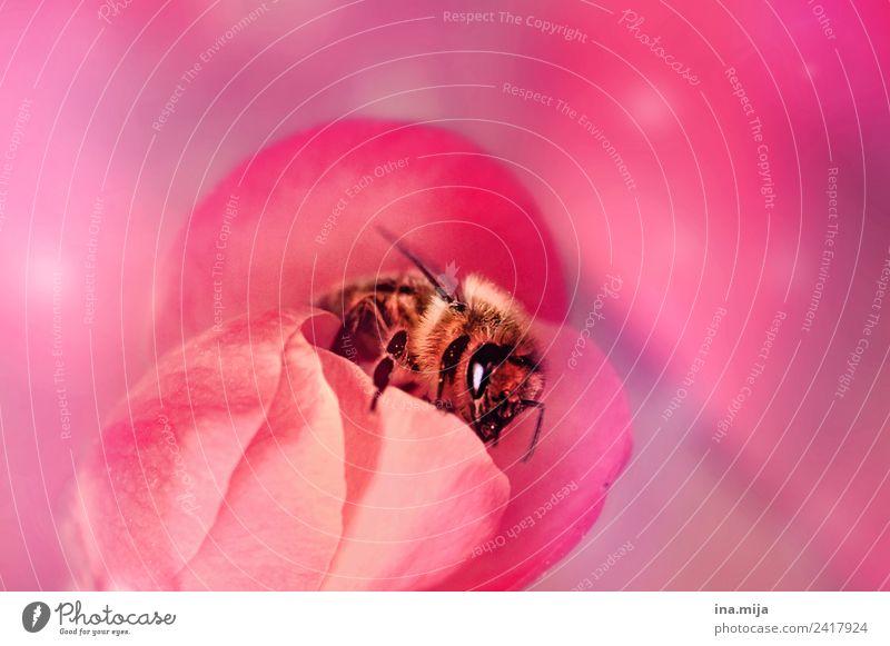 Im Bienenparadis Tier Nutztier Wildtier Käfer 1 rosa Farbfoto Außenaufnahme Innenaufnahme Studioaufnahme Nahaufnahme Detailaufnahme Makroaufnahme Menschenleer