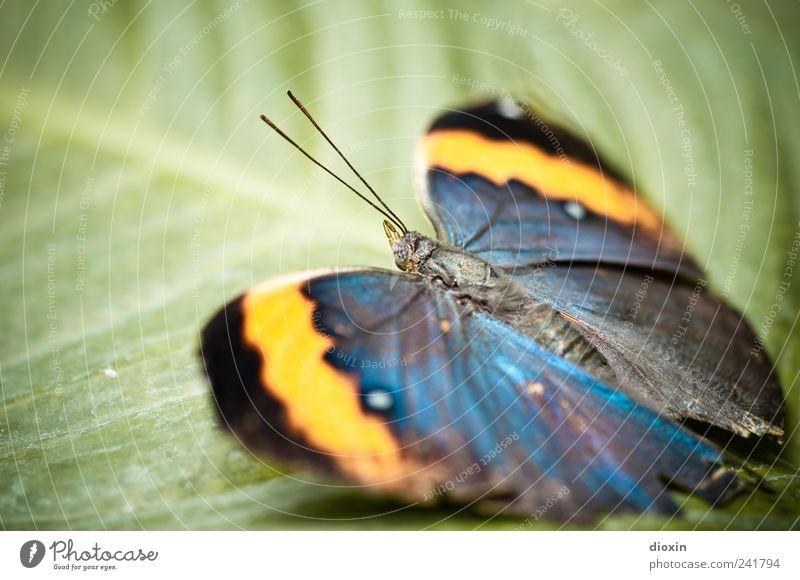 Butterfly´s break Natur Pflanze Blatt Grünpflanze Tier Schmetterling Flügel Insekt Fühler 1 sitzen warten exotisch schön natürlich blau gelb grün schwarz Pause