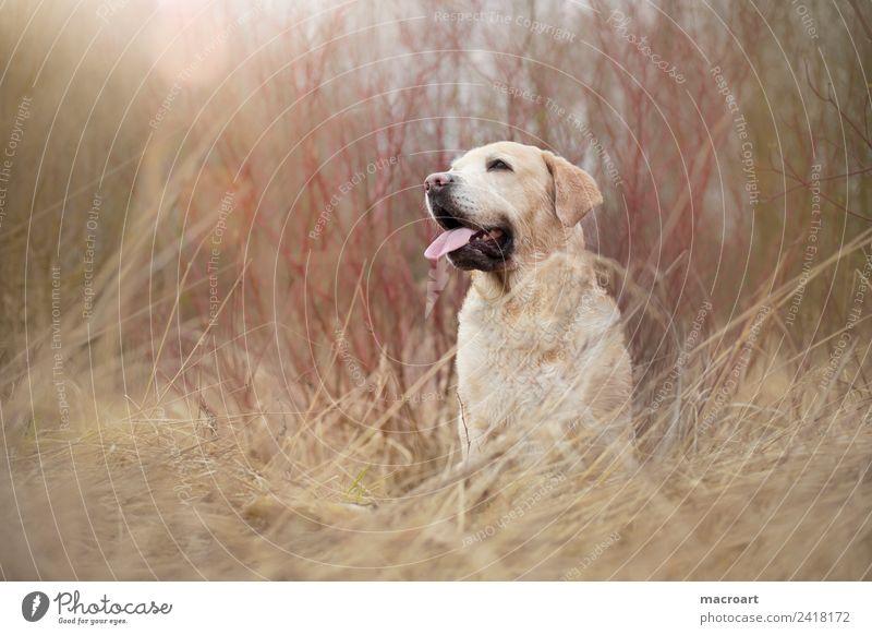 Labrador Retriever Natur Hund Landschaft Tier blond sitzen Säugetier atmen Rassehund