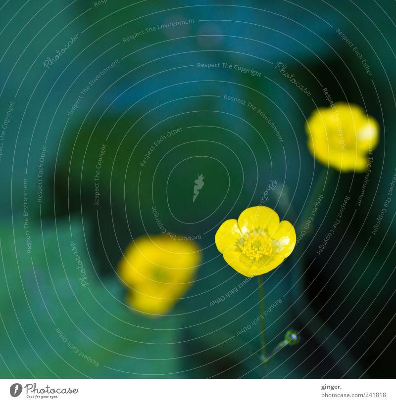 Drei Umwelt Natur Pflanze Frühling Sommer Blume Wildpflanze Wiese gelb Sumpf-Dotterblumen Hahnenfuß 3 glänzend Wachstum Farbfoto Außenaufnahme Nahaufnahme