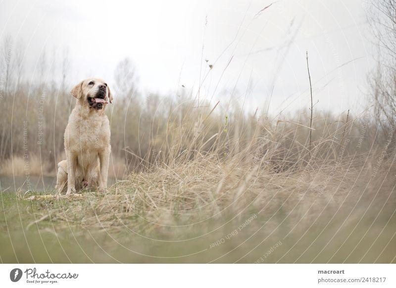 Labrador Retriever labbi retriever retriver Hund Rassehund blond Tier Haustier Gassi gehen Natur natürlich Außenaufnahme Spaziergang Tierzucht züchten