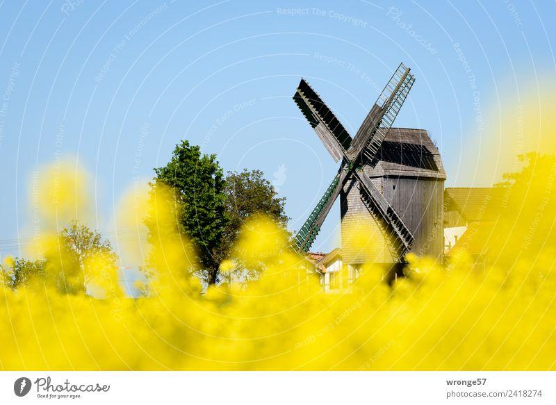 Windmühle hinter gelben Rapsblüten II Gebäude Sehenswürdigkeit Stadt blau braun mehrfarbig Windmühlenflügel Schönes Wetter Blauer Himmel Rapsfeld Ausflugsziel