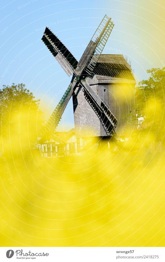 Windmühle hinter gelben Rapsblüten Windkraftanlage Sehenswürdigkeit Stadt blau braun mehrfarbig Windmühlenflügel Bockwindmühle Schönes Wetter Rapsfeld