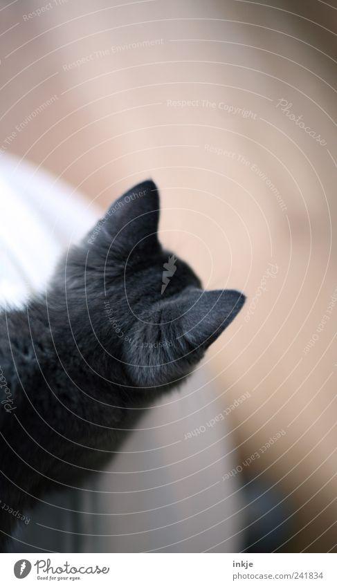 Ohren spitzen Häusliches Leben Haustier Katze Fell 1 Tier Tierjunges beobachten entdecken hocken Blick oben weich braun grau Gefühle Stimmung Kontrolle