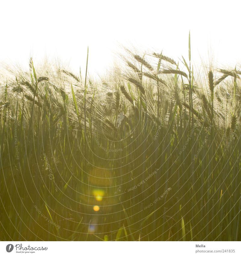 Erntezeit Natur Pflanze Sommer Landschaft Feld Umwelt Wachstum natürlich Getreide Landwirtschaft reif Halm Forstwirtschaft Ähren Zerealien Getreidefeld